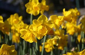 Daffodil by Ninh Hoang