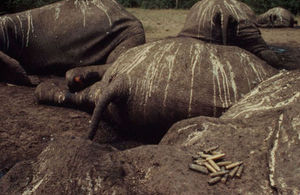 Poached elephants