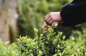 Tea being picked