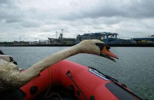 Rescued swan