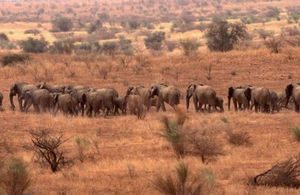 Elephants in Mali