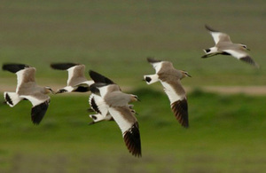6 sociable lapwings in the steppes of Kazakhstan