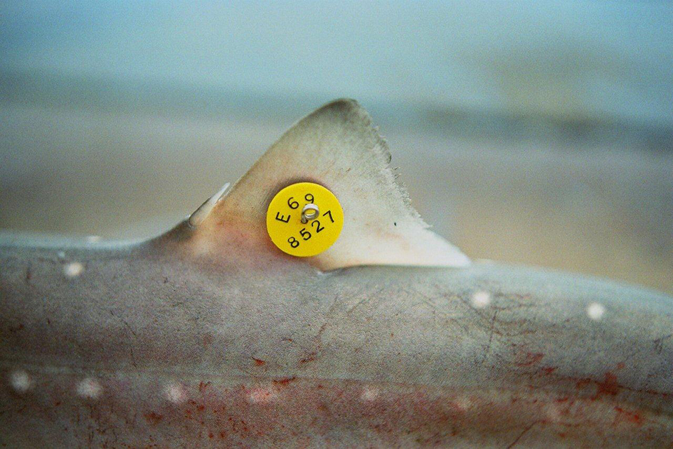 Return tagged fish and shellfish detailed guidance gov uk for Fish tagging kit
