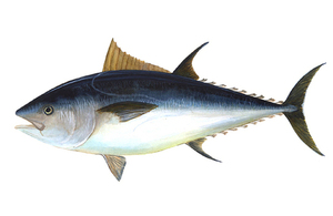 Illustration of bluefin tuna