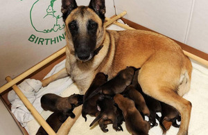 The Belgian Shepherd puppies born at the police dog unit in Devonport