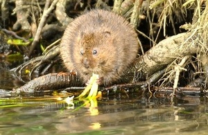 Water Vole (Courtesy of Neil Cox)