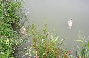 Dead carp in fishery