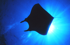 Photograph of manta ray