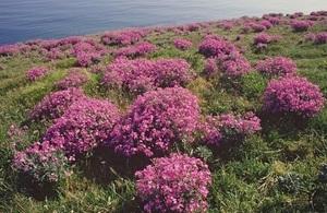 Sea stock (Matthiola sinuata) © Peter Wakely / Natural England