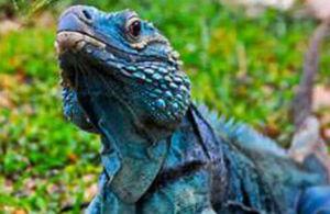 Endangered Blue Iguana