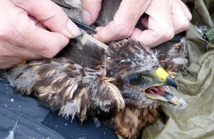 Young hen harrier being tagged