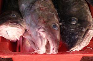 picutre of cod