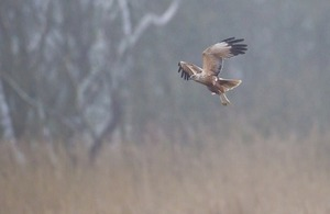 Marsh harrier in flight