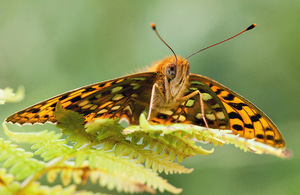 High brown fritillary (Argynnis adippe). © Phil Corley