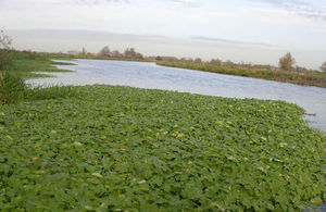 Pennywort in the river looks like a mat