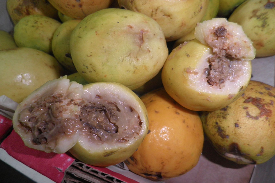 Rotten guava found during HMI investigation