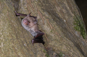 A Natterer's bat emerging from a crack in a tree trunk