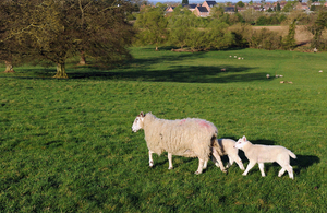 Lamb and ewes on a field