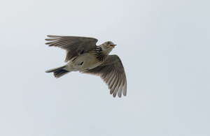 A skylark photographed in its song flight against a clear spring sky