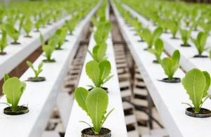 Image of seedlings growing in a greenhouse