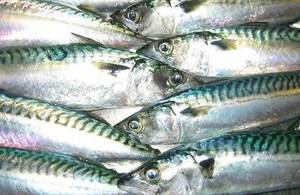 S300 fish mackerel pl cefas 00005060