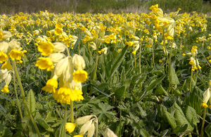 A mass of flowering cowslips - a welcome sign of spring on England's National Nature Reserves