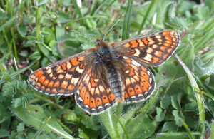 The Culm Grasslands Special Area of Conservation supports the largesr population of marsh fritillary butterfly in the UK