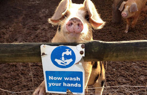 Pig leaning over a fence which displays a wash your hands sign