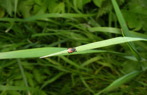 A ricinus tick on a blade of grass