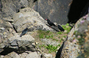 The chough and two of his fledglings on the rocks at Castlemartin Training Area.