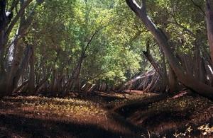 A dense mangrove forest.  Credit: Blue Ventures-Garth Cripps