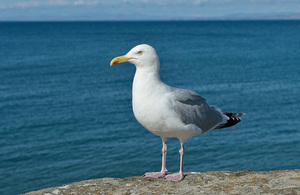 Advice on how to deal with problem gulls - GOV UK