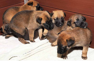 The three-week-old Belgian Shepherd puppies now have their eyes open