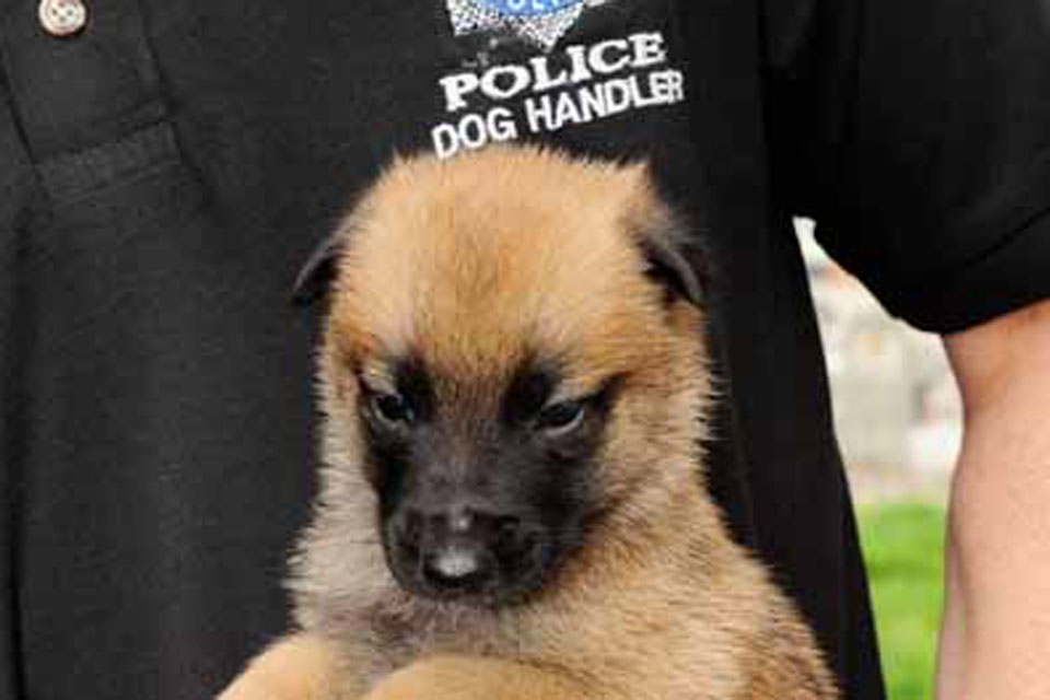 One of the third litter of puppies to be bred especially for and by the MOD Police