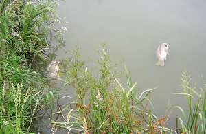 Carp mortalities from Koi herpesvirus (KHV) disease