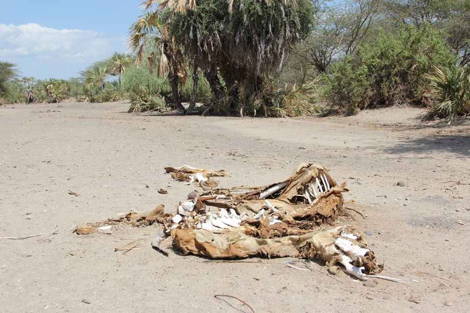 The bones of a camel in a dry river bed near Kalakol, Turkana, Kenya, 2011