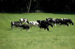 A field with cows