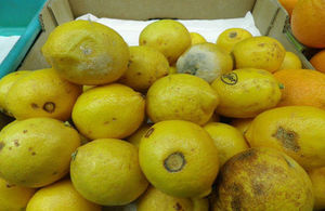 Lemons which were on display and on offer for sale with visible rot and skin defects.