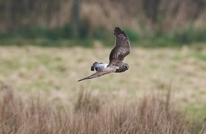 A hen harrier in flight