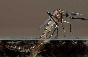 pupae of Aedes aegypti