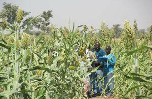 Sorghum plantation