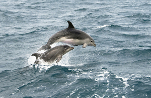 Bottle nosed dolphins jumping