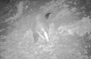 Badger outside sett