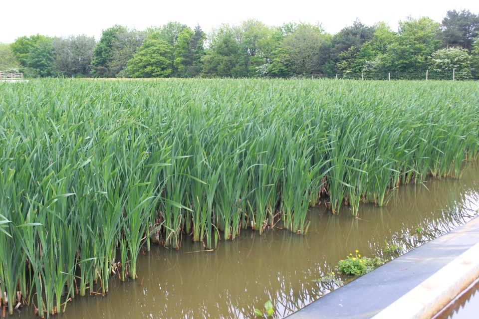 Reed beds at Saltburn mine water treatment scheme
