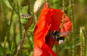 Bumblebee feeding on a poppy flower