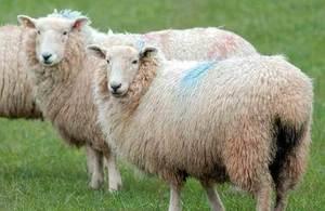 Sheep bluetongue vaccine