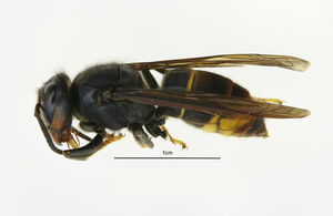 Photograph of the Asian hornet identified in Gloucestershire