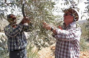 Dr Alastair McPhail picking olives with a Palestinian farmer