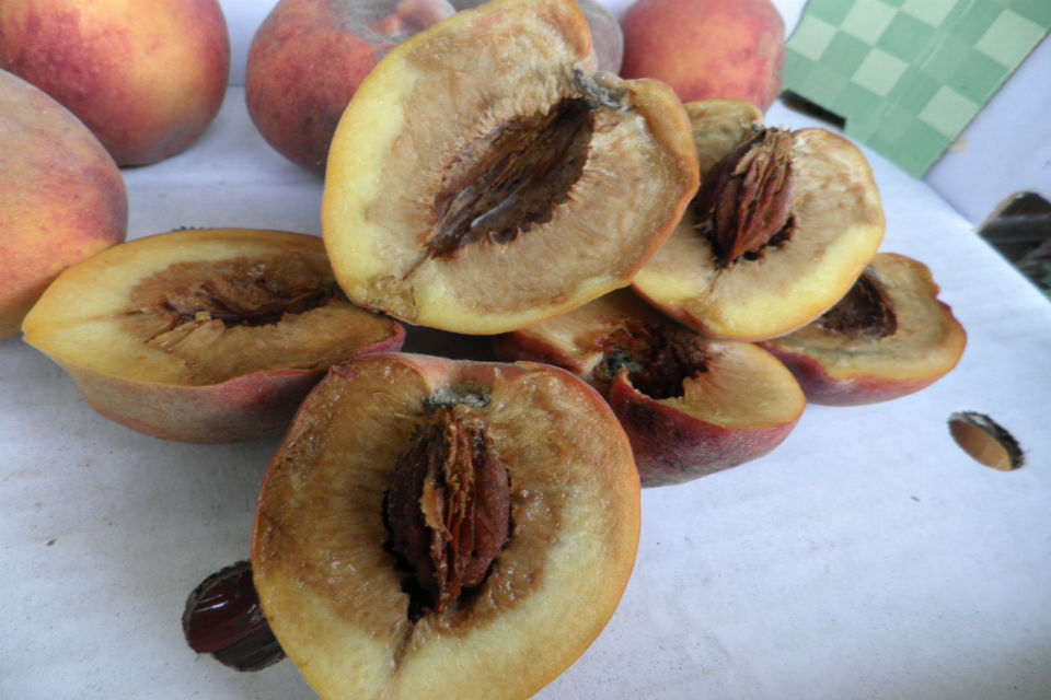 Unlabelled peaches on display for sale with 43% rotting