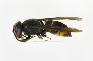 Asian hornet specimen